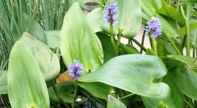 Water Garden Plant